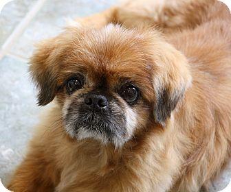 Pekingese Dog for adoption in Greensboro, North Carolina - Oscar