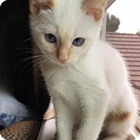 Adopt A Pet :: Marshmellow - North Highlands, CA
