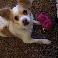 Adopt A Pet :: BRUCE 3 - Chandler, AZ