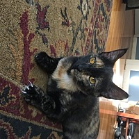Adopt A Pet :: Tortie Rye - Marlborough, MA