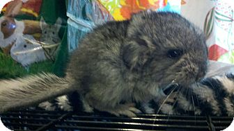 Chinchilla for adoption in Patchogue, New York - Popper