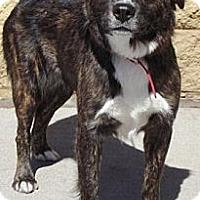 Adopt A Pet :: Bella Donna - Gilbert, AZ