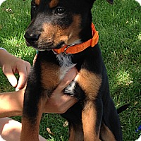 Adopt A Pet :: Dillon - Broomfield, CO