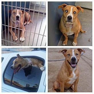 Catahoula Leopard Dog Mix Dog for adoption in Phoenix, Arizona - Frankie Blue Eyes