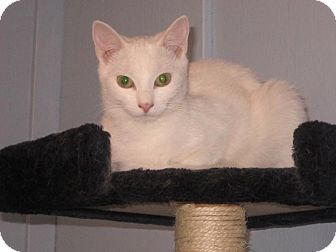 Domestic Shorthair Cat for adoption in Transfer, Pennsylvania - Snow