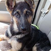 Adopt A Pet :: Amelia-Adopted! - Detroit, MI