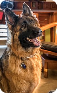 German Shepherd Dog Dog for adoption in Phoenix, Arizona - Chloe