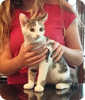 Domestic Shorthair Kitten for adoption in Palatine, Illinois - Kirby