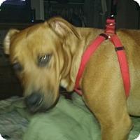 Lancashire Heeler Mix Dog for adoption in Tulsa, Oklahoma - Goofy