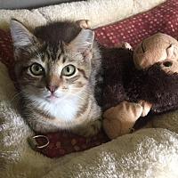 Domestic Shorthair Cat for adoption in Burlington, North Carolina - MARTINA