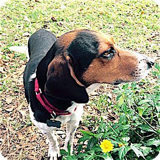 Beagle Dog for adoption in Houston, Texas - Huey
