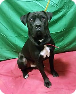 Mastiff/Labrador Retriever Mix Dog for adoption in Detroit, Michigan - Huggy-Adopted!