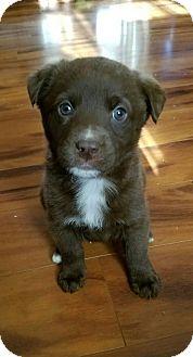 Australian Shepherd Mix Puppy for adoption in Fredericksburg, Virginia - Kaden