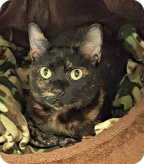 Domestic Shorthair Cat for adoption in Chesapeake, Virginia - Darby