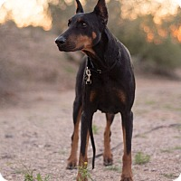 Adopt A Pet :: Nova - Phoenix, AZ