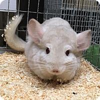 Adopt A Pet :: 5 yr goldbar F chinchilla - Hammond, IN