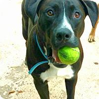 Adopt A Pet :: Ralphie - Auburn, CA