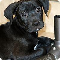 Adopt A Pet :: Caytee - Albany, NY