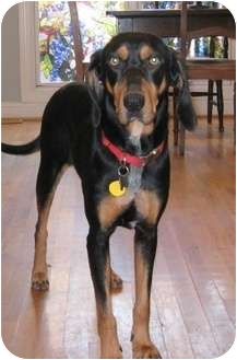 Black and Tan Coonhound Dog for adoption in Dallas, Texas - Spooky