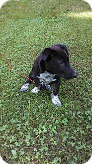 Dachshund/Corgi Mix Puppy for adoption in Hancock, Michigan - Emmett