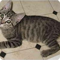 Adopt A Pet :: Toby kitten - LUVbug - Cincinnati, OH