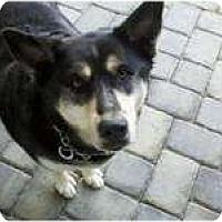 Adopt A Pet :: Puppy - Huntington Station, NY