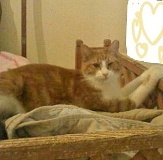 Domestic Shorthair Cat for adoption in Mobile, Alabama - crush