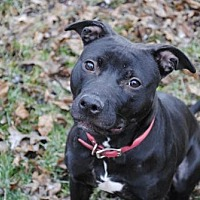 American Pit Bull Terrier Dog for adoption in Vernon Hills, Illinois - Bella Bean