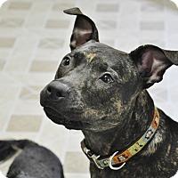 Adopt A Pet :: Pepsi - Brooklyn, NY