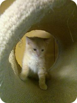 Domestic Shorthair Cat for adoption in Harrisburg, Pennsylvania - Buddy (teenager)