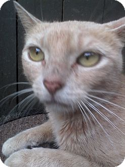 American Shorthair Cat for adoption in Medford, New York - Momma