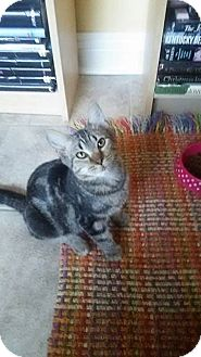 Domestic Mediumhair Cat for adoption in Naperville, Illinois - Sweetie