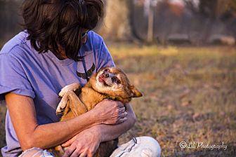Pomeranian/Chihuahua Mix Dog for adoption in Warner Robins, Georgia - Adam