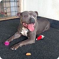 Adopt A Pet :: Smiley Blu - Berkeley, CA