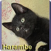 Adopt A Pet :: Harambe - Aldie, VA