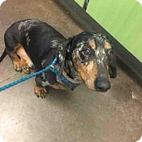 Adopt A Pet :: A028992 - Norman, OK