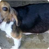 Adopt A Pet :: Annie - Courtesy - Indianapolis, IN