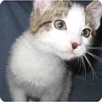Adopt A Pet :: Mittens - Milwaukee, WI