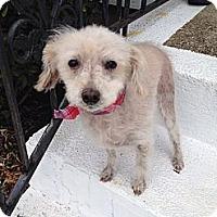 Adopt A Pet :: Daisy May - Plainview, NY