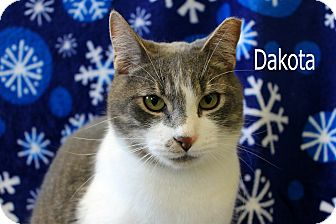 Domestic Shorthair Cat for adoption in Wichita Falls, Texas - Dakota