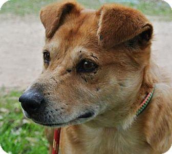 Carolina Dog Mix Dog for adoption in Bulverde, Texas - Dexter