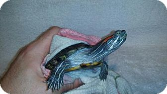 Turtle - Other for adoption in Pefferlaw, Ontario - Keeda