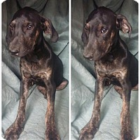 Adopt A Pet :: Spec Adoption pending - Manchester, CT