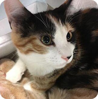 Domestic Shorthair Kitten for adoption in Boynton Beach, Florida - Bella