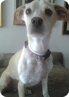 Beagle/Jack Russell Terrier Mix Dog for adoption in Gilbert, Arizona - Mr. Big