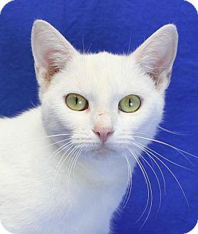 Domestic Shorthair Cat for adoption in Winston-Salem, North Carolina - Alicia