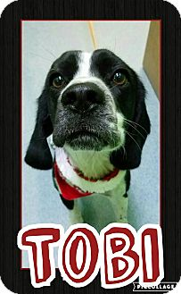Beagle/Cocker Spaniel Mix Dog for adoption in Edwards AFB, California - Tobi