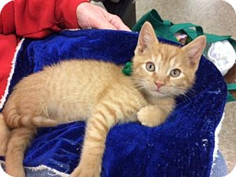 Domestic Shorthair Kitten for adoption in Wilmore, Kentucky - Barnaby
