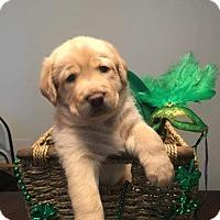 Adopt A Pet :: Acacia's Puppy ARES - Murrells Inlet, SC