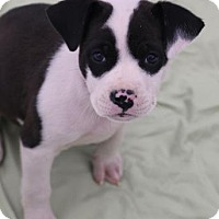 Adopt A Pet :: Freddie - Chester Springs, PA